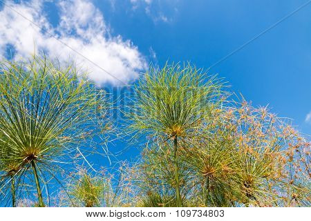 Flower Umbels On Sky Background