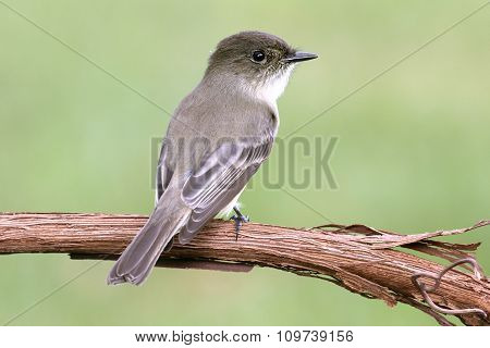 Eastern Phoebe (sayornis Phoebe)