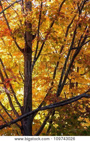 Fall Leaves On Maple Tree