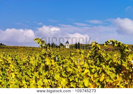 Autumnal Colors Of Alsacien Vineyards, France