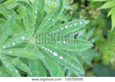 Closeup Of Lupine Leafs And Water Drops. Latin Name: Lupinus Wolfish