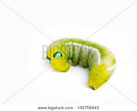 Caterpillars.