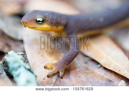 Rough-skinned Newt (Taricha granulosa) crawling on leaves. Santa Clara County, California, USA.