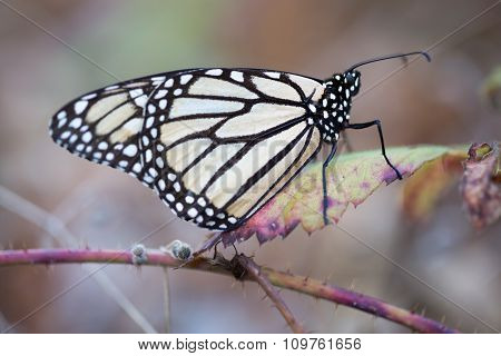 Monarch butterfly perched on a dry leaf