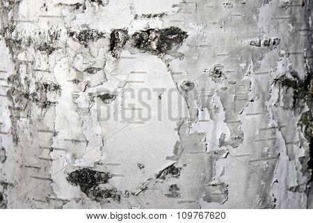 White birch bark, close-up natural texture background