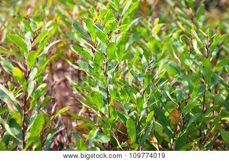 Bog-myrtle (myrica Gale)