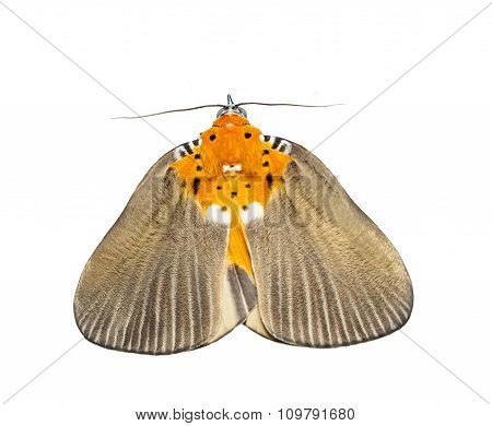 Isolated Female Of Broad-winged Tiger Moth