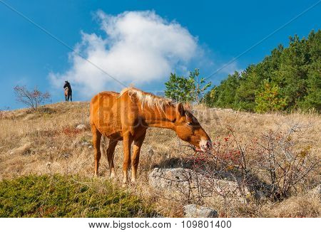 Horse eating hips in Crimean mountains