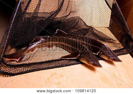 Fresh Sterlet Fish On Fishing Net. Sterlet Is A Small Sturgeon.