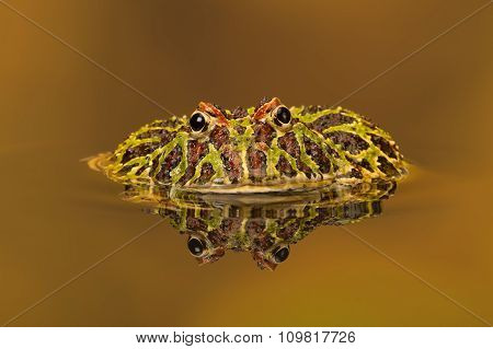 Argentinian Horned Frog (Ceratophrys Ornata) reflected in water poster