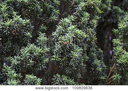 Taxus baccata or European yew in Ireland.