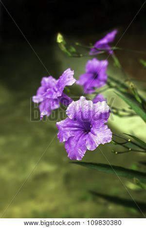 Ruellia Squarrosa Purple Flower