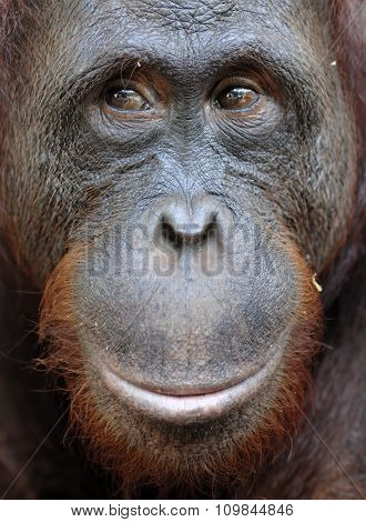 Orangutan Portrait. A Portrait Of The Young Orangutan On A Nickname Ben. Close Up At A Short Distanc