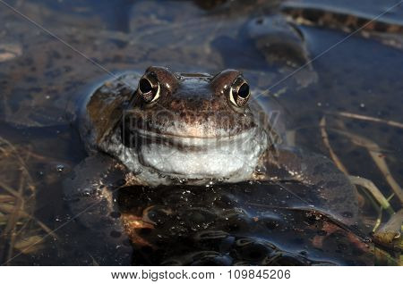 The Common Frog (rana Temporaria) Mating, Also Known As The European Common Frog, European Common Br
