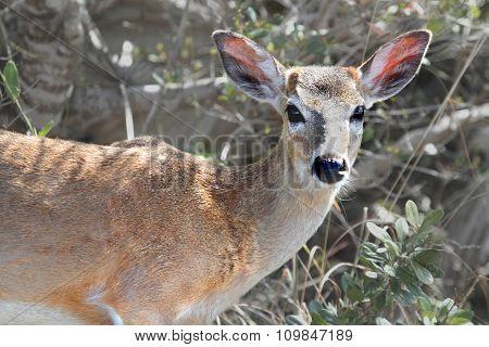 Endangered Florida Key Deer (odocoileus Virginianus Clavium)