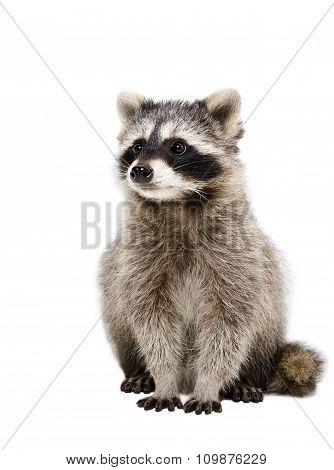Portrait of adorable raccoon