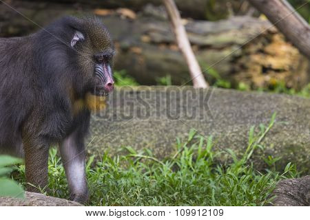 Portrait Of The Adult Female Mandrill