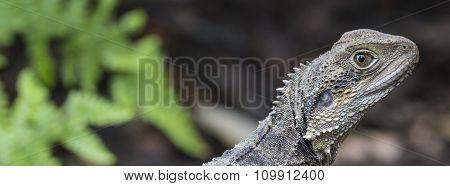 Australian Water Dragon