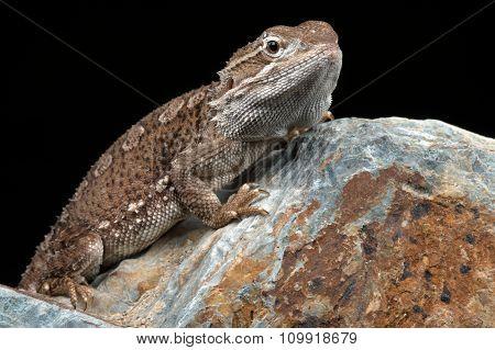Rankin's Dragon (Pogona Henrylawsoni)