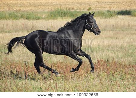 Beautiful black horse running at the field