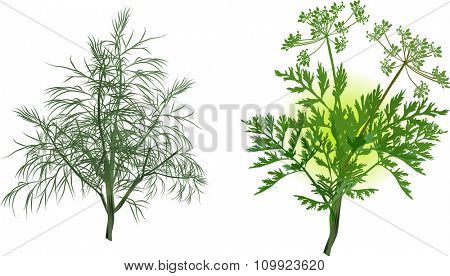 illustration with green dill and celery isolated on white background