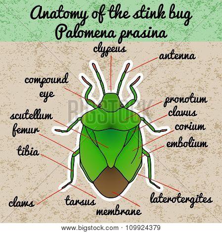 Insect anatomy. shield bug. Palomena prasina. Sketch of shield bug.  shield bug Design for coloring