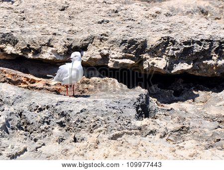 Silver Sea Gull on Limestone Rocks: Cape Peron