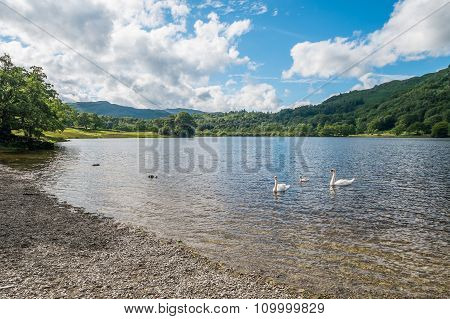 Swans On Rydal Water In The Lake District.