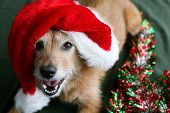 Cute scruffy terrier dog wearing a Santa hat with a big grin on her face poster
