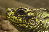 Closeup photo of a yellow and black lizard head poster