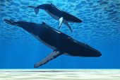 A Humpback mother whale escorts her calf in the shallows of the ocean. poster
