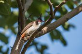 The red-whiskered bulbul is a passerine bird found in Asia. It is a member of the bulbul family poster