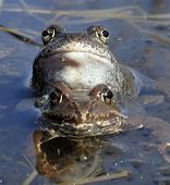 Copulation of The common frog (Rana temporaria) mating also known as the European common frog European common brown frog or European grass frog is a semi-aquatic amphibian poster