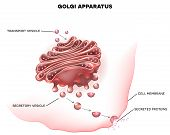 Golgi apparatus a part of the eukaryotic cell. Detailed labeled illustration poster