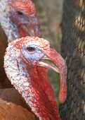 (two turkey pinned up)no modification thank you for looking poster