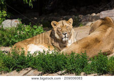 young male Asian lion lazily watching the photographer