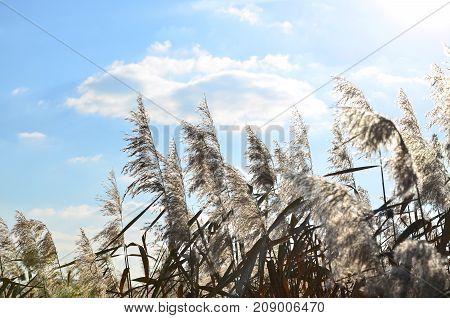 Yellow Fluffy Reeds