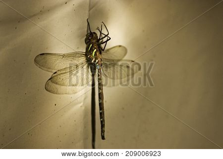 Wide view of a large dragonfly on its back on a piece of canvas that it landed on near Shenandoah National Park Virginia on a sunny cloud filled late afternoon in September.