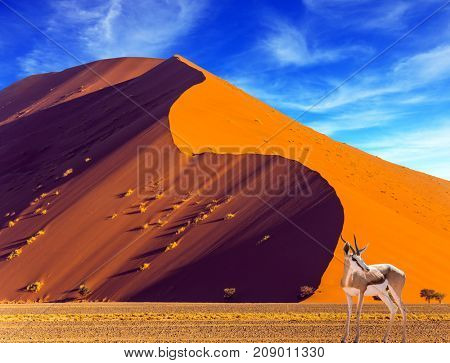 African antelope Impala standing at the road. Travel to Namib Desert, South Africa. Sharp border of light and shadow over the crest of the dune. The concept of extreme and exotic tourism