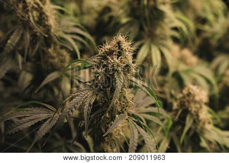 Flowering indoor medical marijuana plants with large developing bud colas include orange pistils.