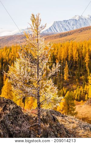 A Rusty Tree in the Mountains in Autumn. Altai. Siberia