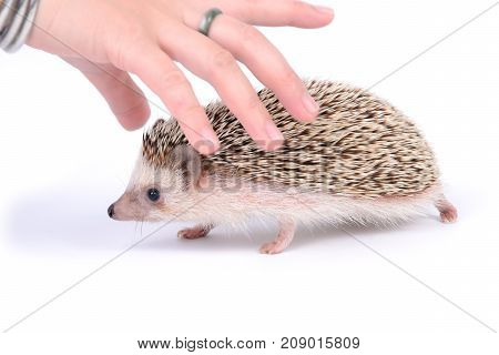 Hand over little hedgehog will be touching it on white background.