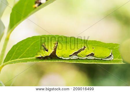 Lime Butterfly (papilio Demoleus) Caterpillar