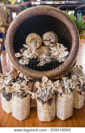 Mushroom cultivation in plastic bag and in large earthen jar natural cultivation way in rural