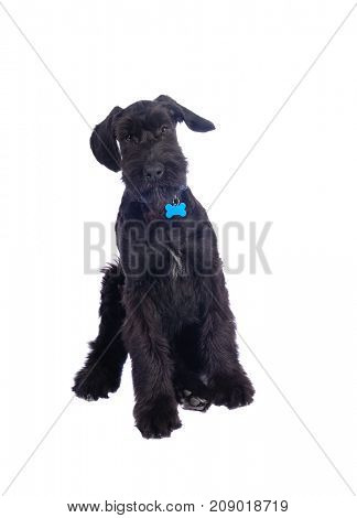 Closeup of very attentive Giant Schnauzer puppy
