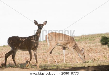 Pair of Whitetail does