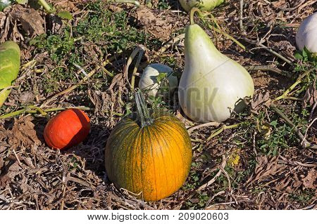 Vegetables that ripen in autumn. Different shape of squash and pumpkins.
