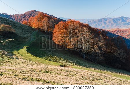 Beech forest in the mountains. Autumn landscape on a sunny morning. Carpathians, Ukraine, Europe