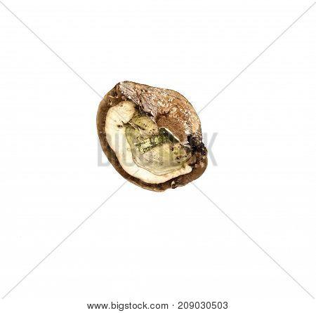 Shelf fungus medical mushroom isolated on white. Chaga. Mushrooms growing on trees.