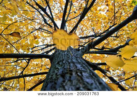 Yellow tilia (lime trees) leaves and trunk in an autumnal day. for fall and sesonal concept